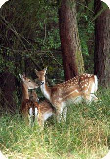 A group of Fallow Deer